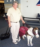 Man Holding a Miniature Horse as Service Animal